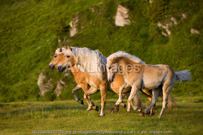 Haflinger horses on pasture, Sintersbach Hochalm pasture, sorrel, Kitzbuhel Alps, Tyrol, Austria, Europe
