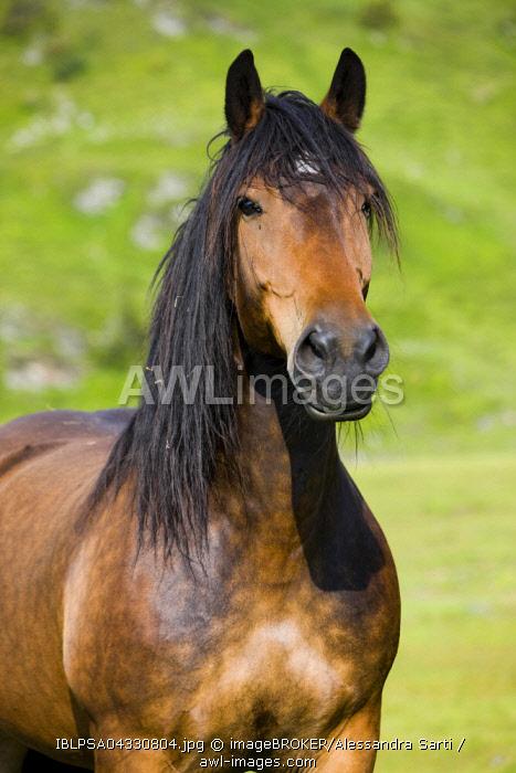 Noriker, portrait, brown, Sintersbach Hochalm pasture, Kitzbuhel Alps, Tyrol, Austria, Europe