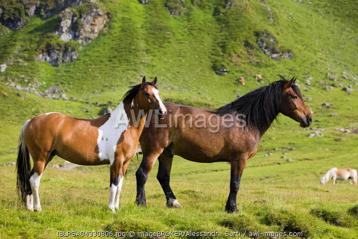 Noriker and Pinto, brown, on pasture, Sintersbach Hochalm pasture, Kitzbuhel Alps, Tyrol, Austria, Europe