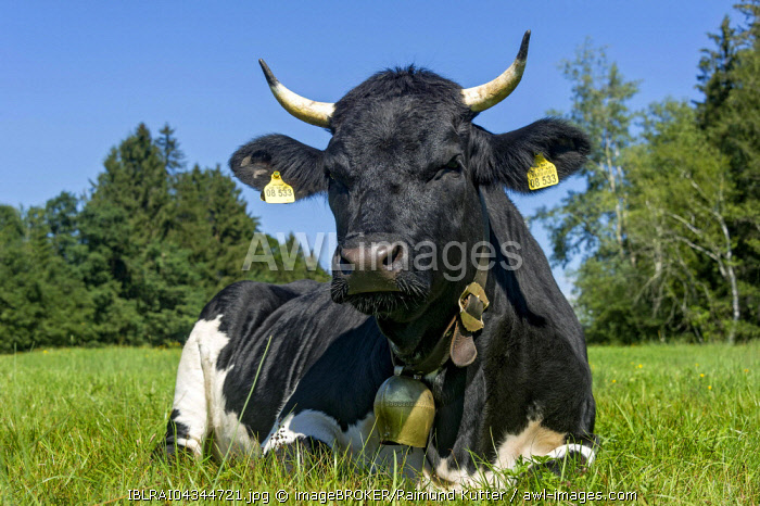 Black and white cow with cow bell lying in the pasture, domestic cattle (Bos primigenius taurus), Sachsenkam, Upper Bavaria, Bavaria, Germany, Europe