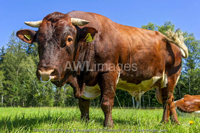 Wwwawl Imagescom Brown And White Spotted Bull With Nose Ring In