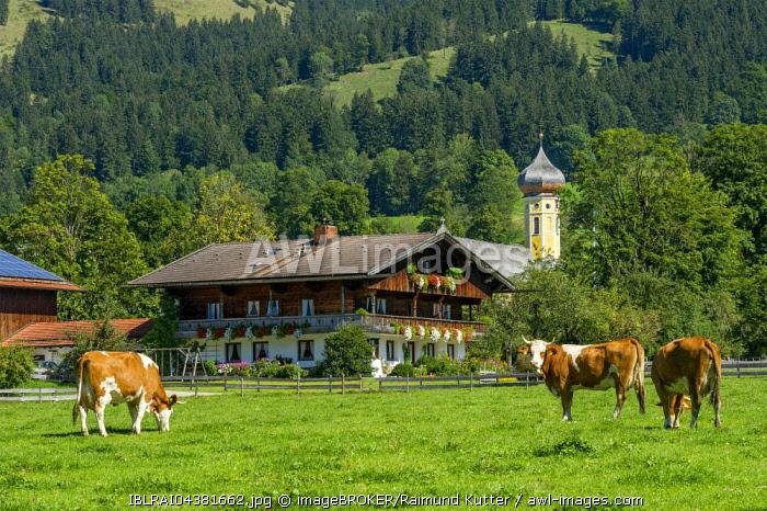 Cows on a pasture, cattle (Bos primigenius taurus), farmhouse and former monastery St. Martin, Martinsmunster, Fischbachau, Leitzachtal, Upper Bavaria, Bavaria, Germany, Europe