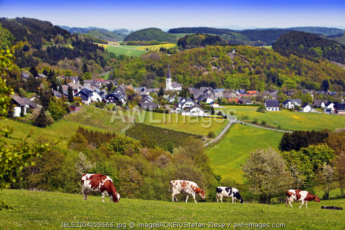 View of Düdinghausen district, city of Medebach, cows in front, Sauerland, North Rhine-Westphalia, Germany, Europe