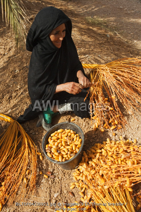 Woman picks off the harvested dates from the stalks, palmeries of Erfoud in the Tafilalt, Southeast Morocco, Marocco
