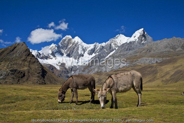 Two grazing donkeys on a mountain meadow,the snow-capped mountains Jirishanca and Ninashanca behind, Cordillera Huayhuash mountain range, Andes, northern Peru, Peru, South America
