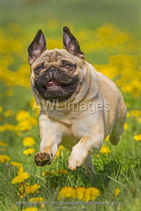 Pug puppy running in a dandelion meadow, Germany, Europe