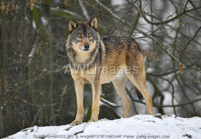 Eastern wolf (Canis lupus lycaon), leader in snow, captive, Baden-Wurttemberg, Germany, Europe
