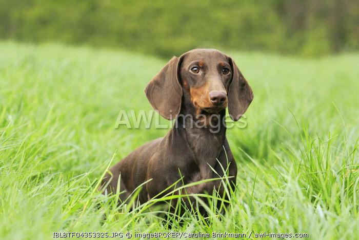 Dachshund, Shorthair, 9 months old, sitting in the grass, North Rhine-Westphalia, Germany, Europe