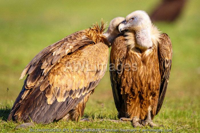Griffon vultures (Gyps fulvus) sitting in meadow, Pyrenees, Spain, Europe