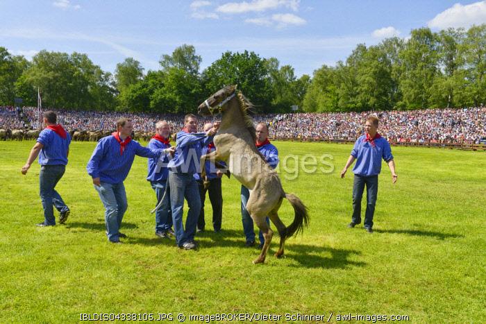 Captured stallion, yearling, Dulmener Wild stallion, Dulmen, Munsterland, North Rhine-Westphalia, Germany, Europe