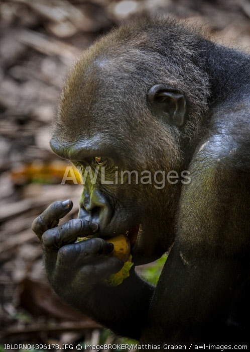 Western Lowland Gorilla (Gorilla gorilla gorilla), female eating, close up, captive, Primate Sanctuary, Limbe, Southwest Region, Cameroon, Africa