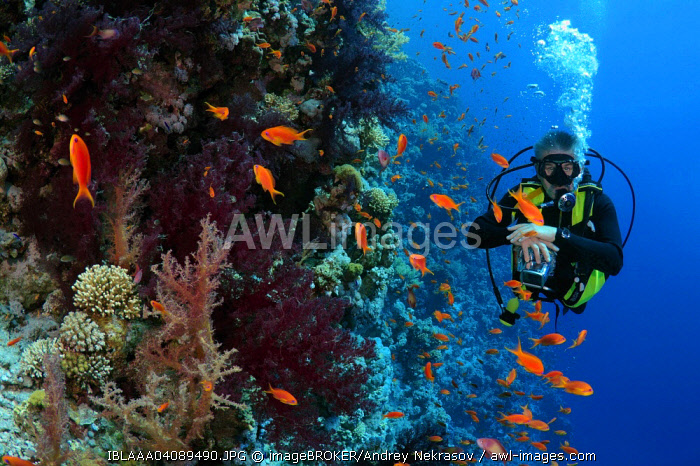 Diver looking at coral reef, Ras Muhammad National Park, Sinai Peninsula, Sharm el-Sheikh, Red Sea, Egypt, Africa