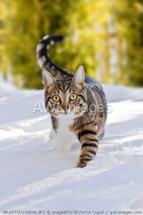 Cat walking through fresh snow, Bavaria, Germany, Europe