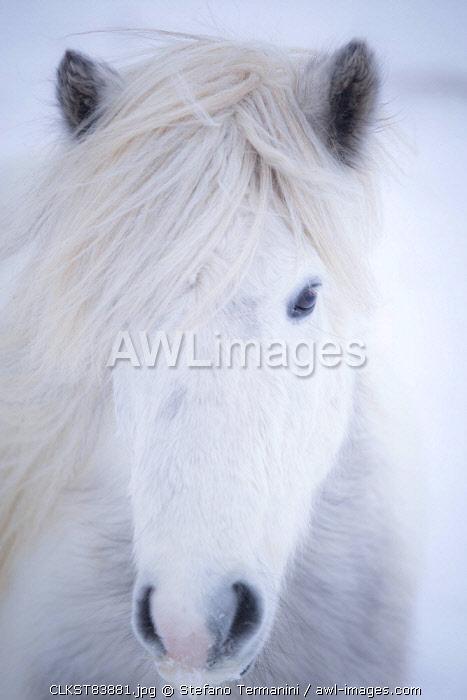 White icelandic horse, Snaefellsness peninsula, Iceland