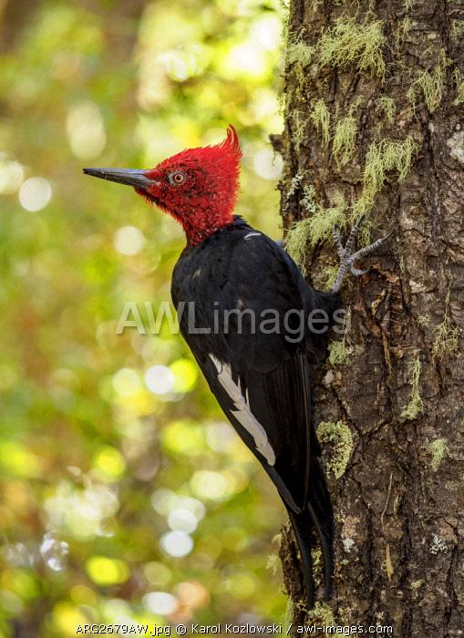 Magellanic woodpecker (Campephilus magellanicus), Nahuel Huapi National Park, Rio Negro Province, Argentina