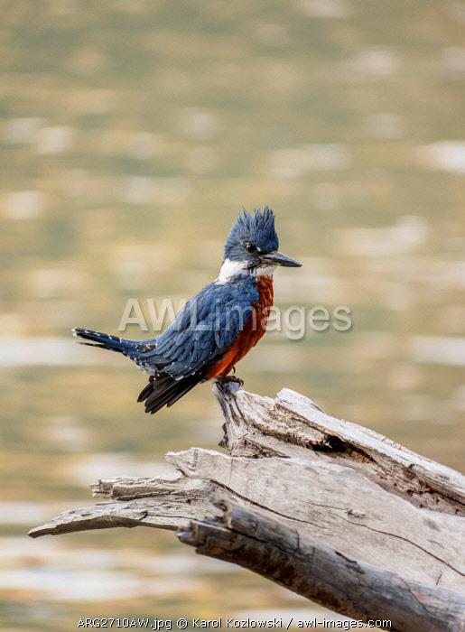 Ringed Kingfisher (Megaceryle torquata) by the Gutierrez Lake, Nahuel Huapi National Park, Rio Negro Province, Argentina