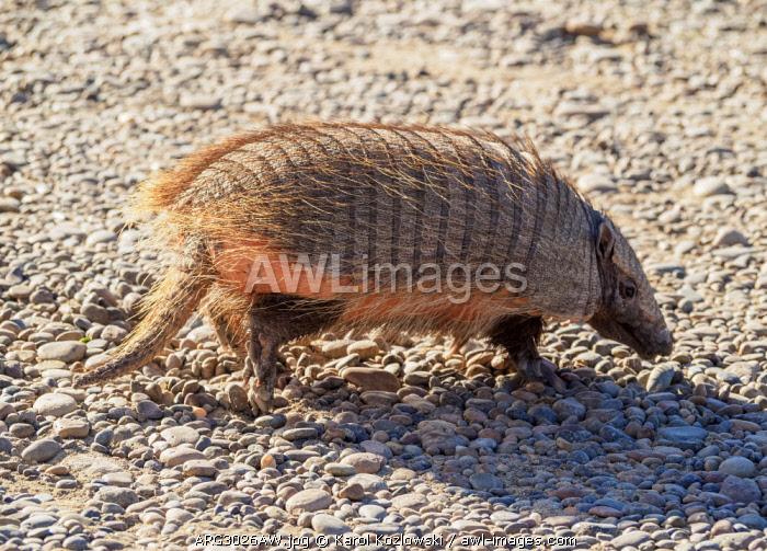 Big Hairy Armadillo (Chaetophractus villosus), Punta Norte, Valdes Peninsula, UNESCO World Heritage Site, Chubut Province, Patagonia, Argentina