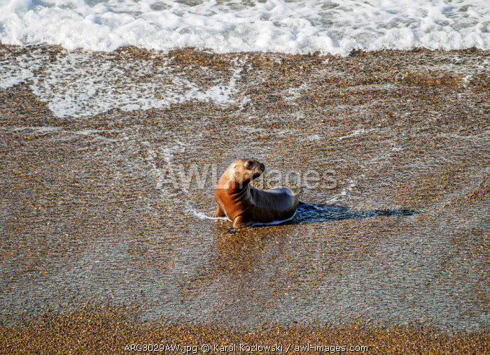 South American Sea Lion Pup (Otaria flavescens), Punta Norte, Valdes Peninsula, UNESCO World Heritage Site, Chubut Province, Patagonia, Argentina