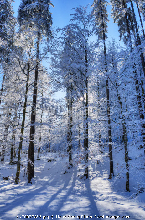 Winter trees at the Raintal in the Tannheimer mountains of the Allgv�u, Musau, Tyrol, Austria