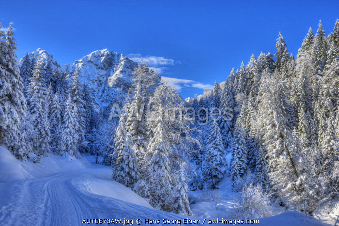 Winter trees with Gehrenspitze at the Raintal in the Tannheimer mountains of the Allgäu, Musau, Tyrol, Austria