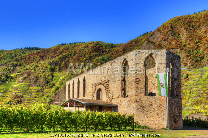 Ruin of Cloister Stuben with Calmont vineyard at fall, Bremm, Rhineland-Palatinate, Germany
