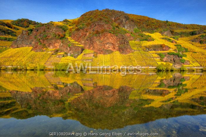 River Mosel with vineyards at fall, Ürzig, Rhineland-Palatinate, Germany