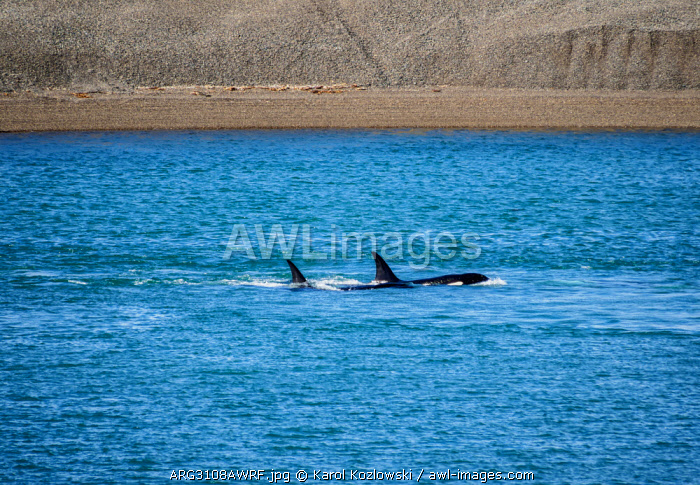 Killer Whales (Orcinus orca) in Caleta Valdes, Valdes Peninsula, UNESCO World Heritage Site, Chubut Province, Patagonia, Argentina