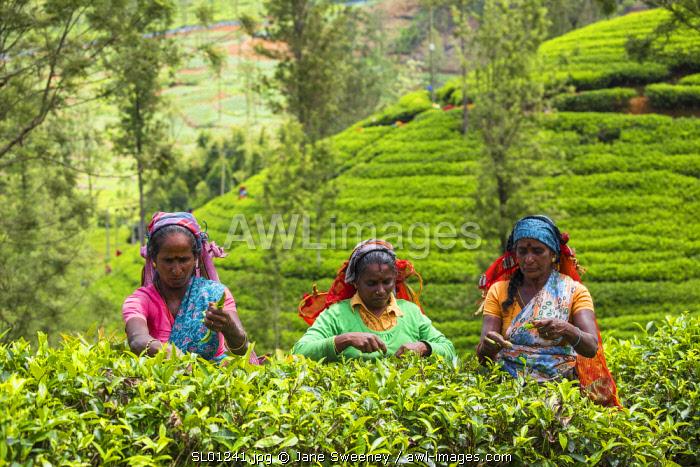 Sri Lanka, Nuwara Eliya disctict, Tea pluckers