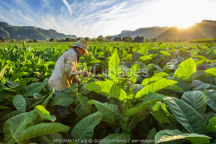 Cuba, Pinar del Rio province, Vinales, Vinales national park, Vinales valley, a UNESCO World Heritage site, dotted with mogotes or limestone outcrops, tobacco harvesting