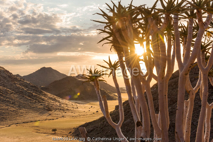 Africa, Namibia, Namib Rand area. Farm Kanaan. Sunset in the Tiras mountains with a Quiver Tree