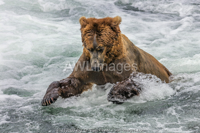 USA, Katmai National Park, Brook Falls, Alaska. A Brown bear pounces on a sockeye salmon as it prepares to leap over Brook Falls on its way to spawning grounds.