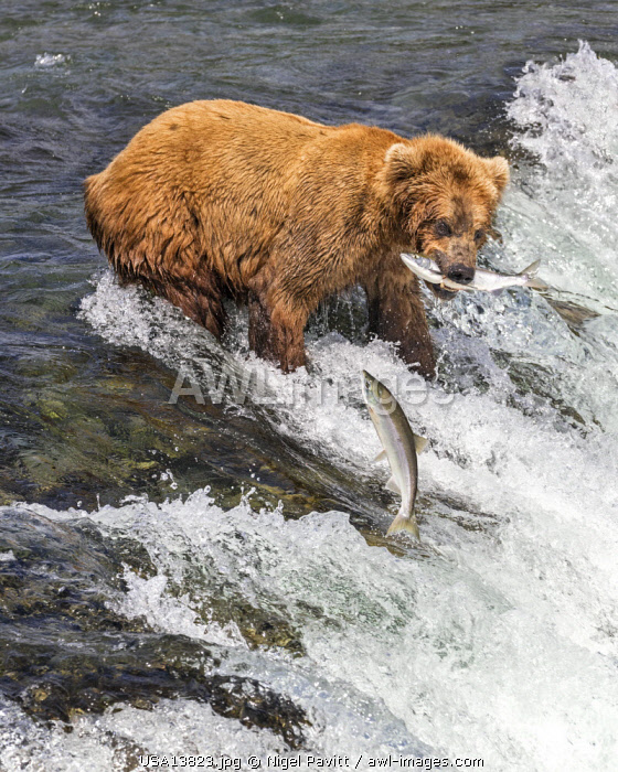 USA, Katmai National Park, Brook Falls, Alaska. A Brown bear with a sockeye salmon in its mouth as another leaps over Brook Falls  to escape to its spawning grounds.