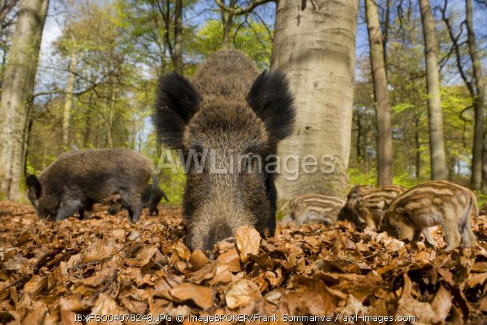 Wild boar (Sus scrofa) in spring in the woods, North Rhine-Westphalia, Germany, Europe