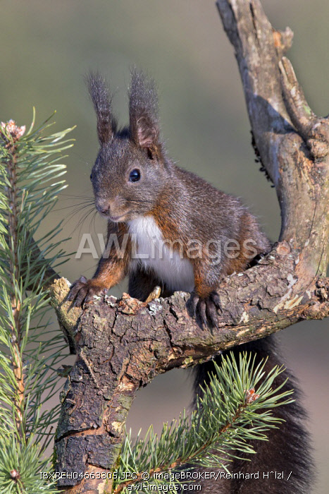 Eurasian red squirrel (Sciurus vulgaris) sits on branch of a Pine (Pinus), Tyrol, Austria, Europe
