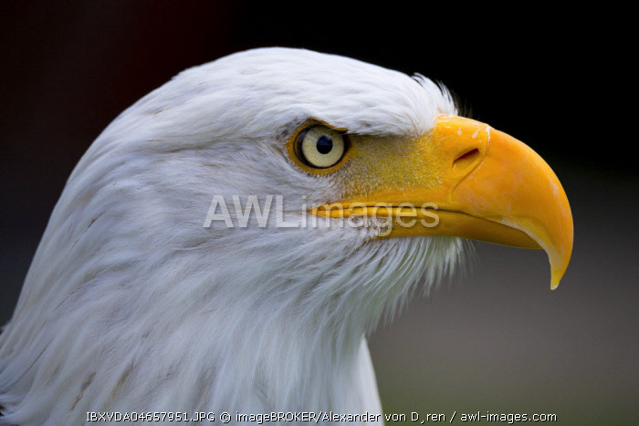 Bald eagle (Haliaeetus leucocephalus), animal portrait, captive, North Rhine-Westphalia, Germany, Europe