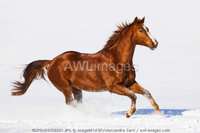 Hanoverian horse, Sorrel, brown, reddish fur, galloping in the snow, Tyrol, Austria, Europe