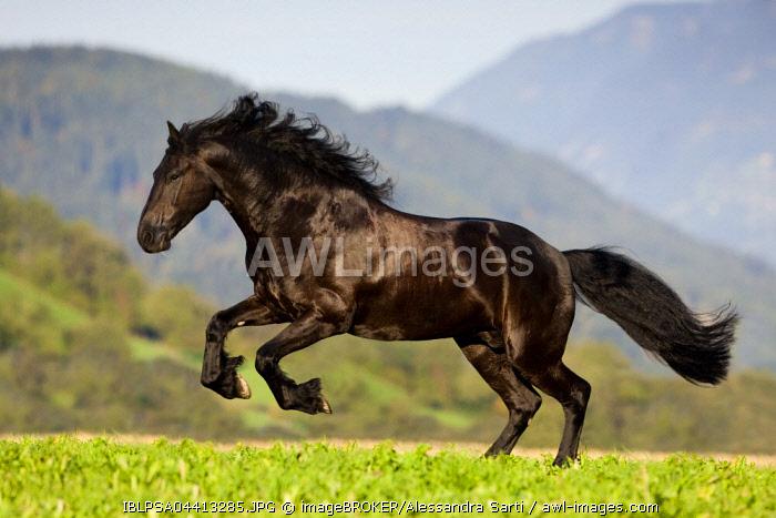 Friesian galloping, summer, Austria, Europe