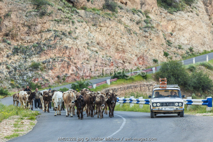 Armenia, Areni, shepherds herding cattle through town
