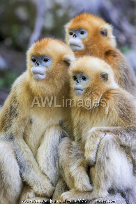China, Shaanxi Province, Foping National Nature Reserve. Golden snub-nosed monkey (Rhinopithecus roxellana, endangered). Three juvenile monkeys sit together.