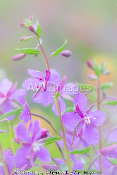 Canada, British Columbia, Selkirk Mountains. River beauty flowers close-up