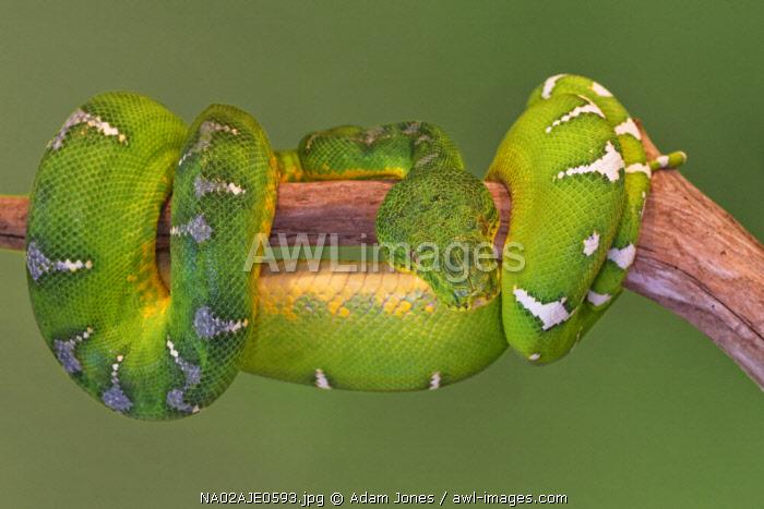 Emerald Tree Boa, Surinam phase, Corallus hortulanus