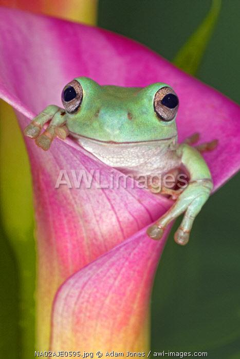 Australian green tree frog or White's tree frog, or Dumpy tree frog in flower, native to Australia, Litoria caerulea