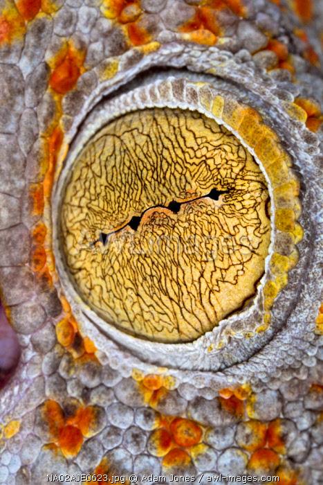 Extreme close-up of Gargoyle Gecko eyeball,