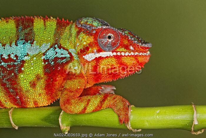 Panther Chameleon, Furcifer pardalis, native to Madagascar