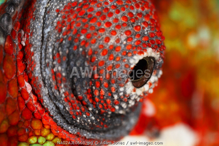 Panther Chameleon eyeball close-up, Furcifer pardalis, native to Madagascar