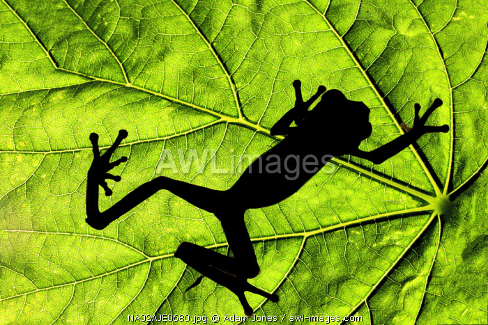 Red-eyed tree frog silhouetted on tropical leaf, Agalychnis callidryas, native to Costa Rica