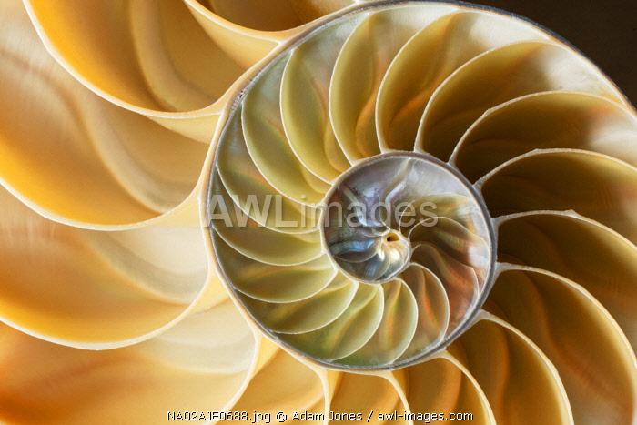 Chambered Nautilus shell close-up pattern, Nautilidae