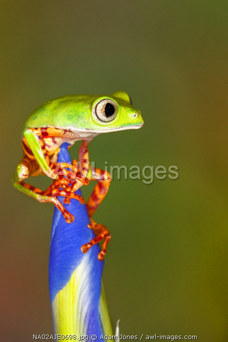 Blue-webbed gliding tree frog on Iris flower, Agalychnis spurrelli, native to Panama, Ecuador, Costa Rica, and Colombia