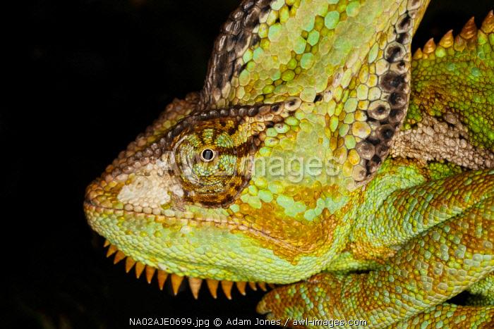 Veiled chameleon, Chamaeleo calyptratus, native to Arabian Peninsula, and Saudi Arabia