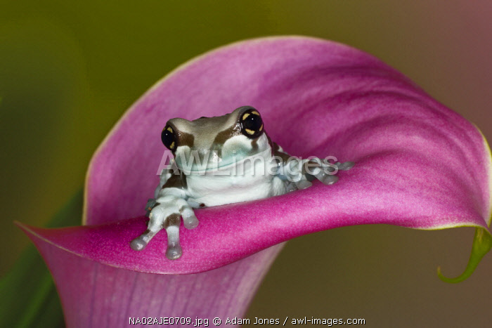 Mission golden-eyed tree frog or Milk frog, Trachycephalus resinifictrix, native to Amazon rainforests of South America